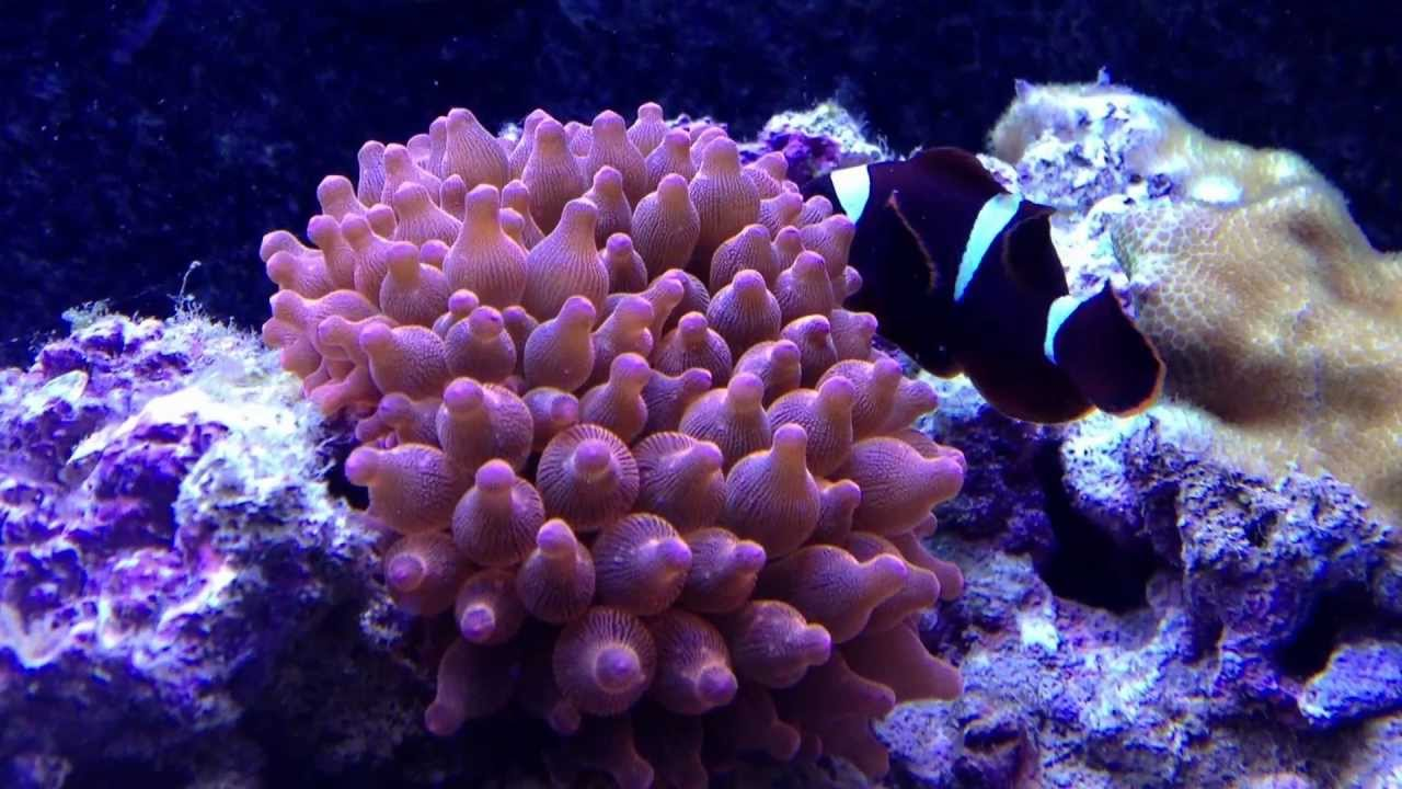 Rsm650s Day 32 Rose Bubble Tip Anemone Entacmaea