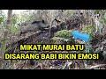 Mikat Murai Batu Disarang Babi Hutan  Mp3 - Mp4 Download