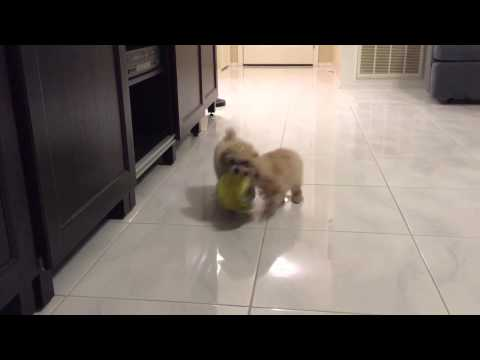 Cute toy poodle puppies learning fetch