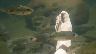 Смотреть ШОК!!! Рыбы едят человека или пилинг большими рыбками peeling big fish