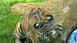Tiger i Knuthenborg