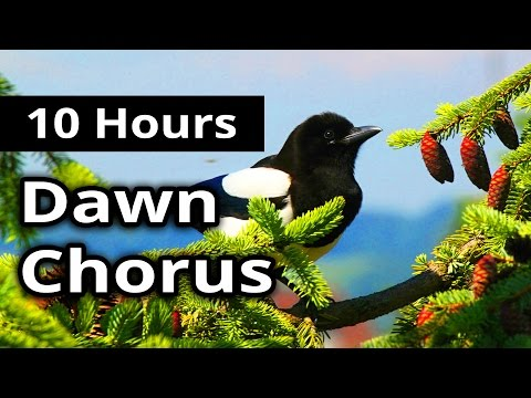 10 Hours - DAWN CHORUS - Birds in the Morning - Ambiance for restaurants, spas, health farms...