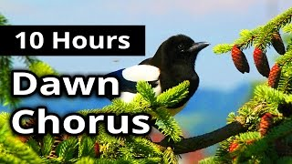 10 hours   dawn chorus   birds in the morning   ambiance for restaurants spas health farms