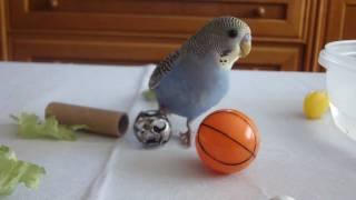 El pollito Pipo jugando con su cascabel!