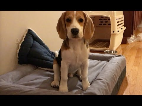 Unboxing a Casper dog bed with my beagle