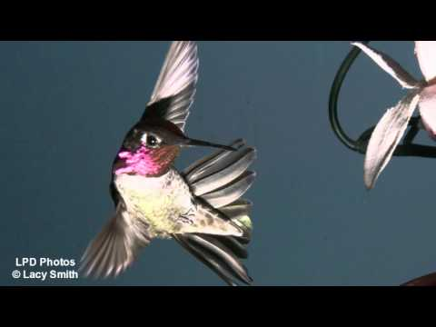 Dancing with the Hummingbirds
