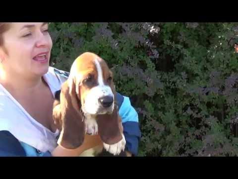 Basset hound female 10 weeks