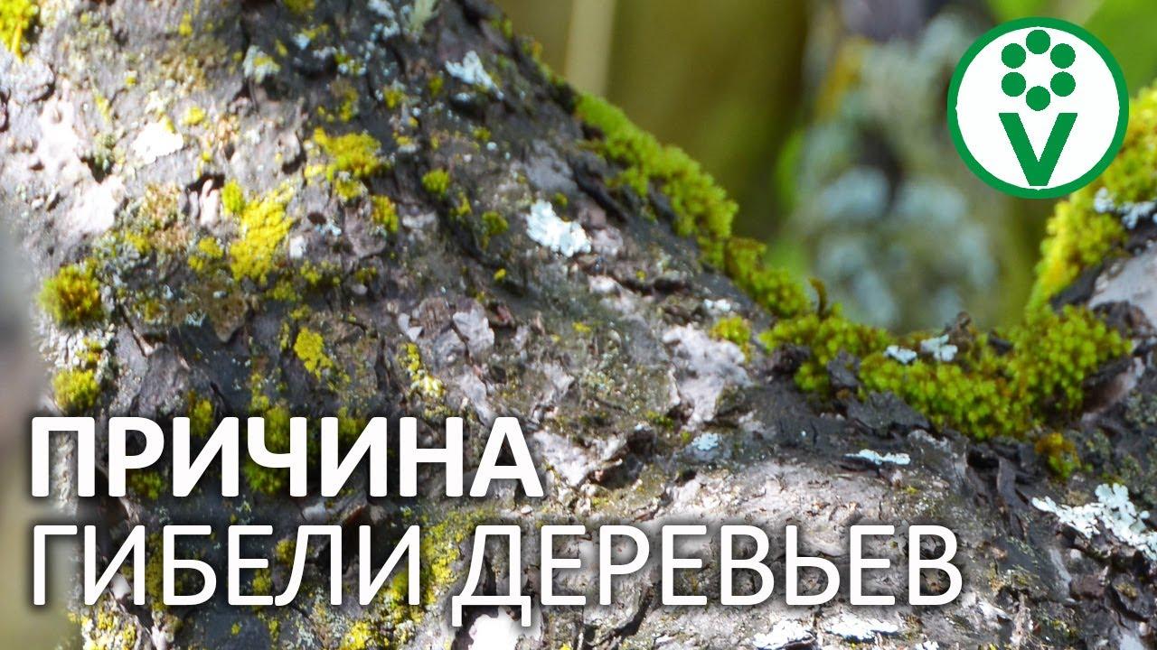 ЭТО УБИВАЕТ ЯБЛОНИ И ГРУШИ! Как убрать мхи и лишайники, не повредив деревья?