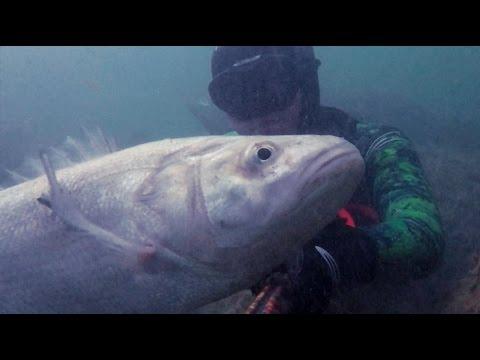 Chasse sous marine - Loup 8.5KG - Gros Labrax Méditerranéen