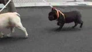 French Bulldogs , Pudgy & Ooloo take a walk around !