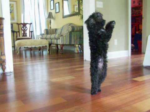 Dancing Miss Daisy Black Toy Poodle Puppy Dog  SO CUTE!!