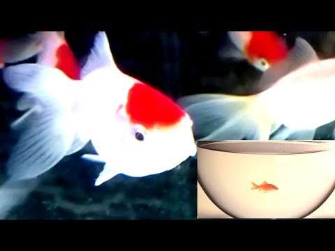 Why You Should Not Keep Goldfish In A Small Bowl