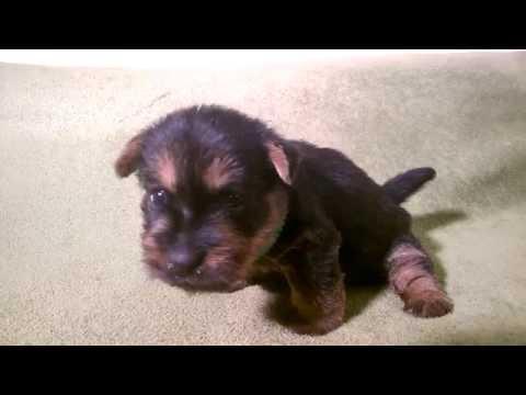 Alta Carya FCI female # 2 from litter born 15 Sept 2015