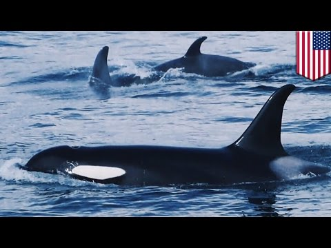 Orca Whale Gangs: Alaskan Fishermen Report Whale Pods Targeting And Robbing Their Boats