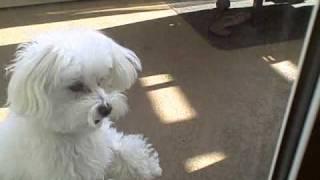 Puggle teaches Maltese to go through the doggy door