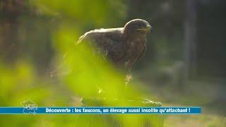 Les faucons, un élevage aussi insolite qu'attachant ! - Météo à la carte