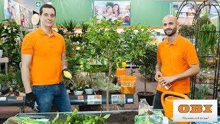 Download lagu Come coltivare gli agrumi sul balcone