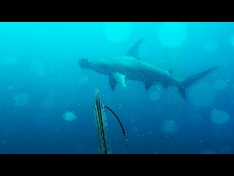 Up Close And Personal With A 12 Ft Hammerhead! - Scuba Spearfishing Jupiter Florida
