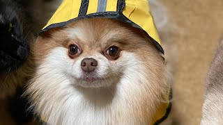 A DAY IN A POMERANIANS LIFE