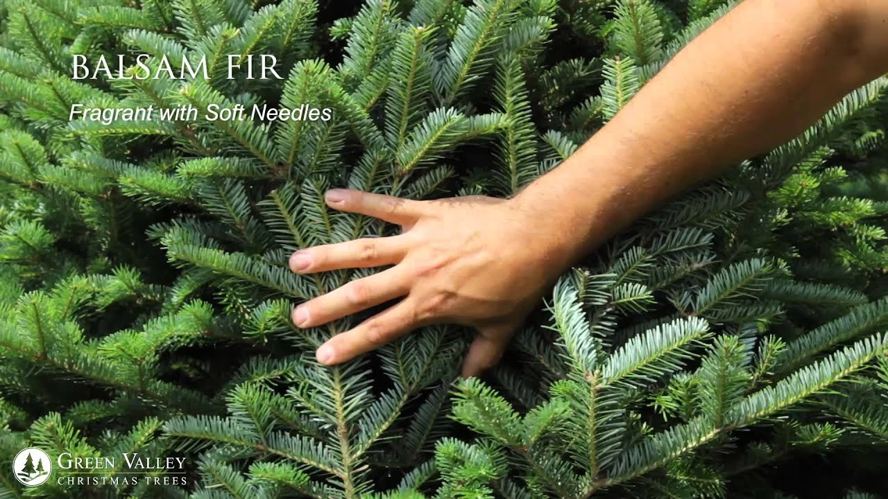 Green Valley Christmas Trees - Choose From Four Different Tree Types