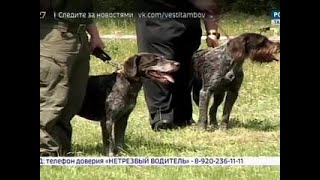ВестиТамбов. В Тамбове провели VIII Всероссийскую выставку собак породы Дратхаар - Вести 24