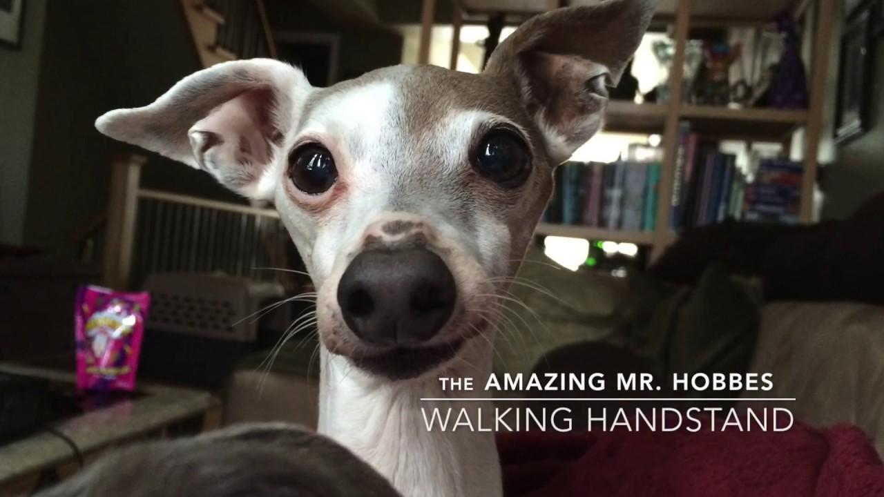 Italian Greyhound Mr Hobbes Walks In A