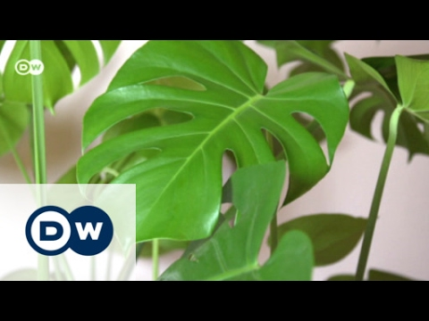 Revival der zimmerpflanze monstera euromaxx youtube - Zimmerpflanze monstera ...