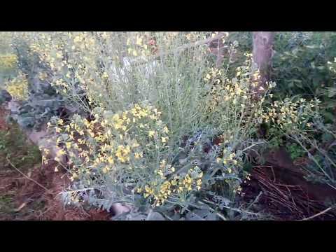 Вопрос: Капуста брокколи, почему вырастают мелкие и рыхлые кочаны, зацветают?