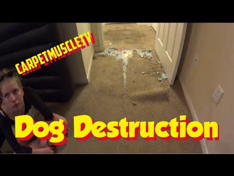 cute-dog-destroyed-carpet-carpet-repair-video