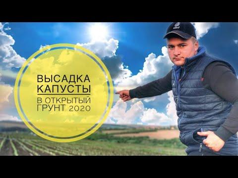 ВЫСАДКА КАПУСТЫ В ОТКРЫТЫЙ ГРУНТ как правильно садить капусту в 2020 году