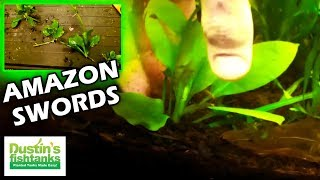How To Plant Amazon Sword Runners
