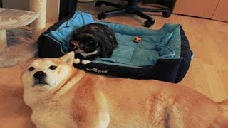 Cats Stealing Dog Beds | Funny Cat Love To Sleep on Dog Bed Compilation