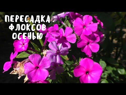 ПЕРЕСАДКА ФЛОКСОВ ОСЕНЬЮ. Мои цветы. Мой опыт.