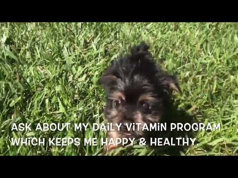 Teacup Yorkie Puppy For Sale In NC