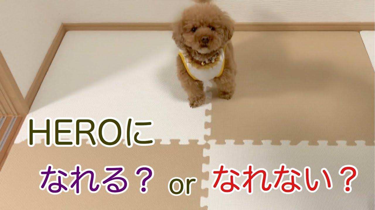 【トイ・プードル】検証その2   飼い主がピンチの時、愛犬はどんな行動をとるのか?【検証動画】