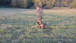 Dog Training Center Perra In Dublin - Pit Bull Terrier, Obedient