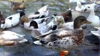 Call Ducks in Pond at Kooymans Farm