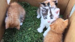Ливенские котята