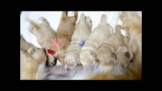Golden Retrievers Of Camelot House, Nursing Pups