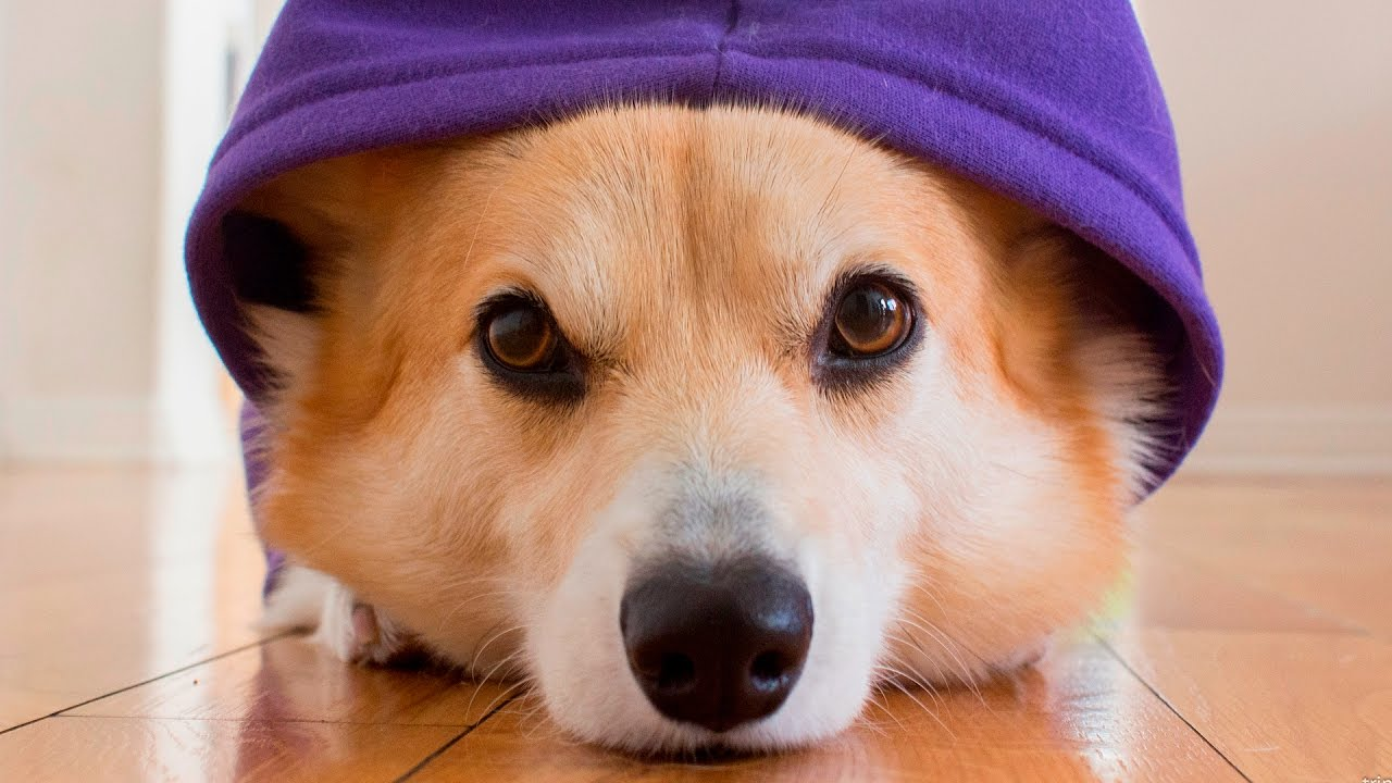 Cute Dogs wearing Clothes #124