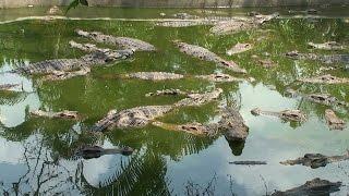 Niezwykly Swiat - Tajlandia - Hodowla krokodyli