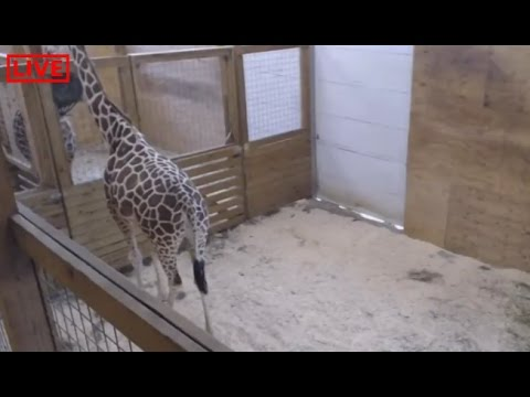 Thumbnail: AMAZING LIVE STREAM! - GIRAFFE GIVING BIRTH, Animal Adventure Park Giraffe Cam (2/25/17)