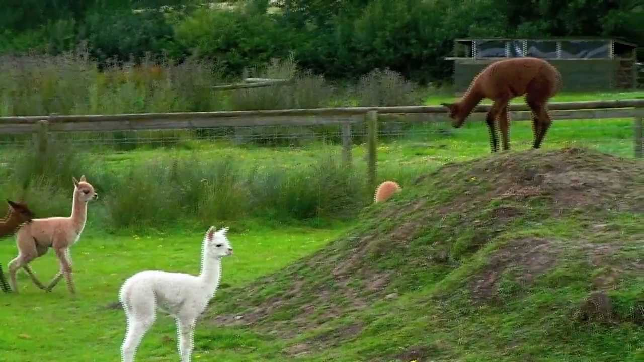 Baby Alpacas Playing At The Alpaca Park Youtube