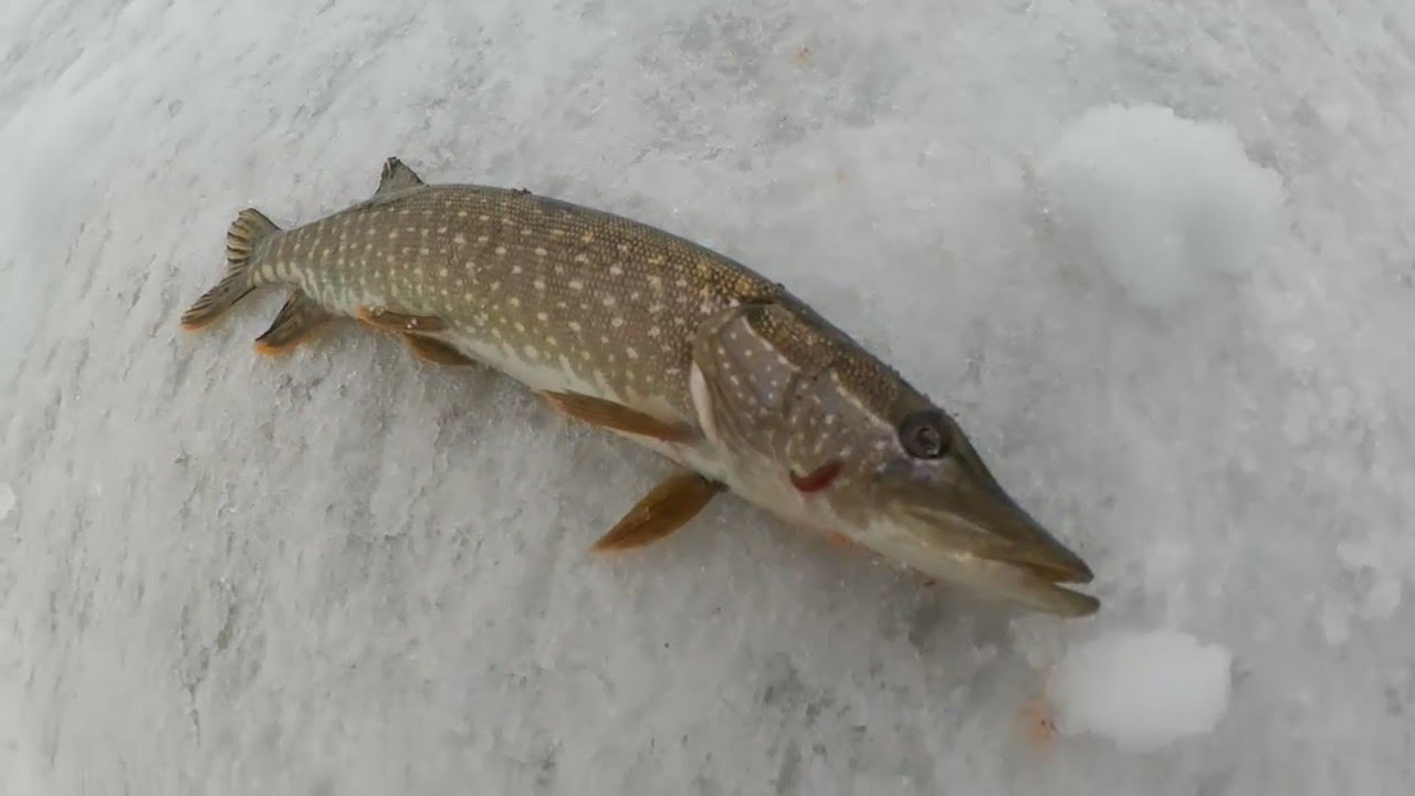 Закрытие зимнего сезона на протоке Алея речке Склюихе. Ловля щук на жерлицы