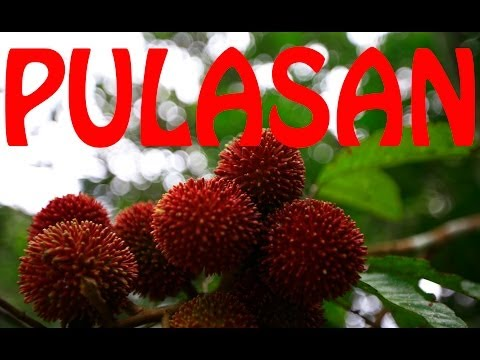 How to eat and open Pulasan