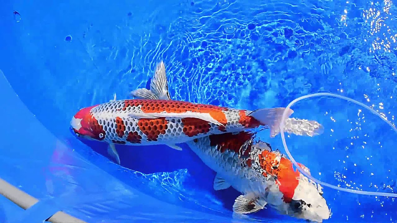 Modern koi blog 526 live aus japan hiroshima nogyosai for Modern koi blog