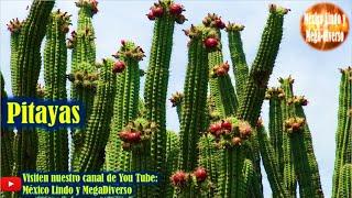 Gambar cover Asi se Cortan las PITAYAS en los CERROS de la Mixteca 🌵Cuna de la pitaya  🌄