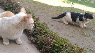 Download lagu Rescued Kitten Is Not Showing Respect To Feral Cat They're Showing Their Aggression