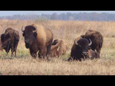 Bison at Kankakee Sands: Pioneers of the Prairie Landscape