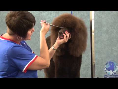Grooming the Irish Water Spaniel Part 2